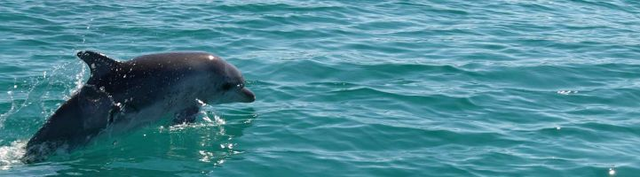Dolphin in Geographe Bay